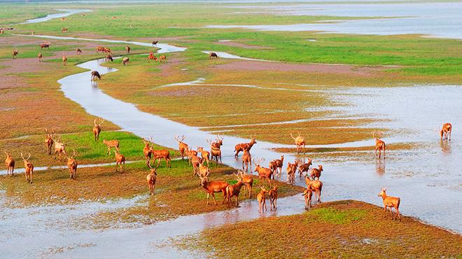 航拍鹽城大豐麋鹿保護區 瞰春草鹿呦呦