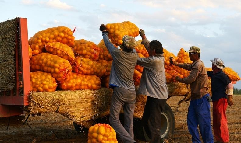 航拍甘肅高臺戈壁農業 千畝馬鈴薯喜獲豐收
