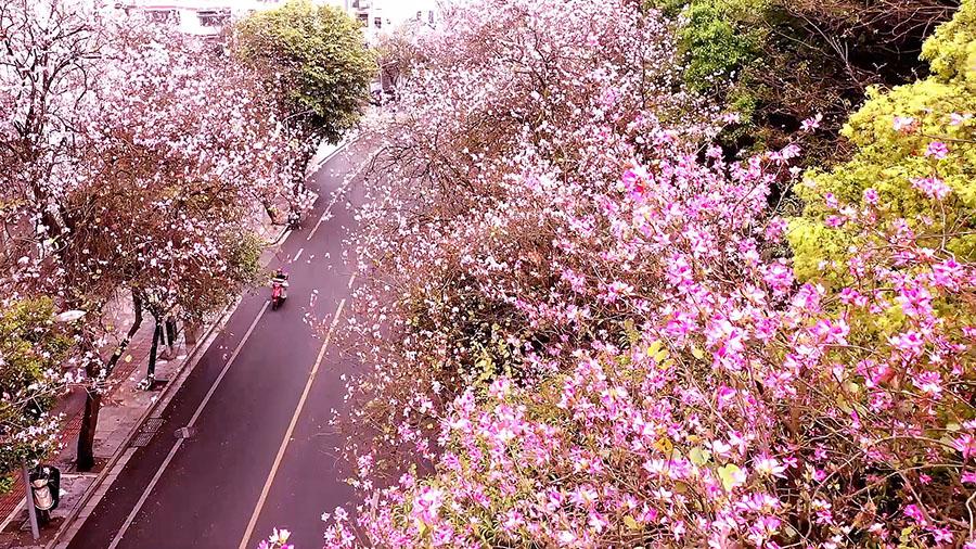 春風拂過 28萬株紫荊花盛開 街道瞬間變花海