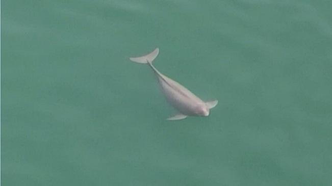 速圍觀!宜昌無人機首次拍到懷孕江豚