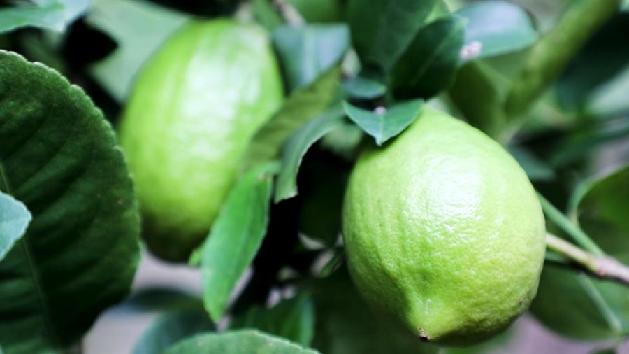 """【""""飛閱""""中國】你聞到了嗎?檸檬豐收滿園香"""