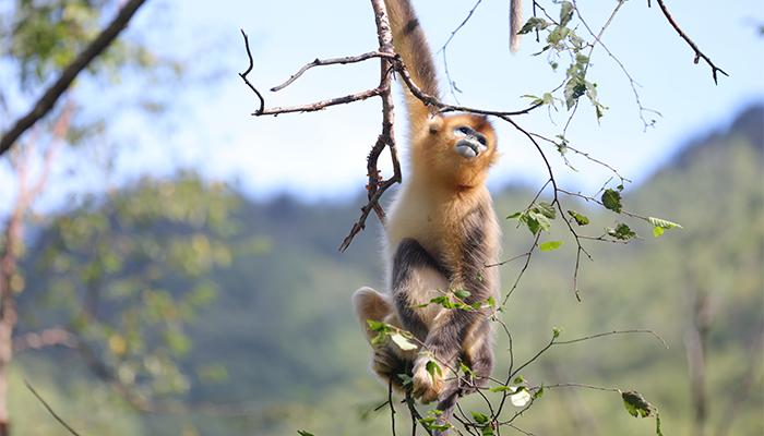 """【""""飛閱""""中國】生物多樣性之美丨神農架金絲猴:最美靈長部落"""