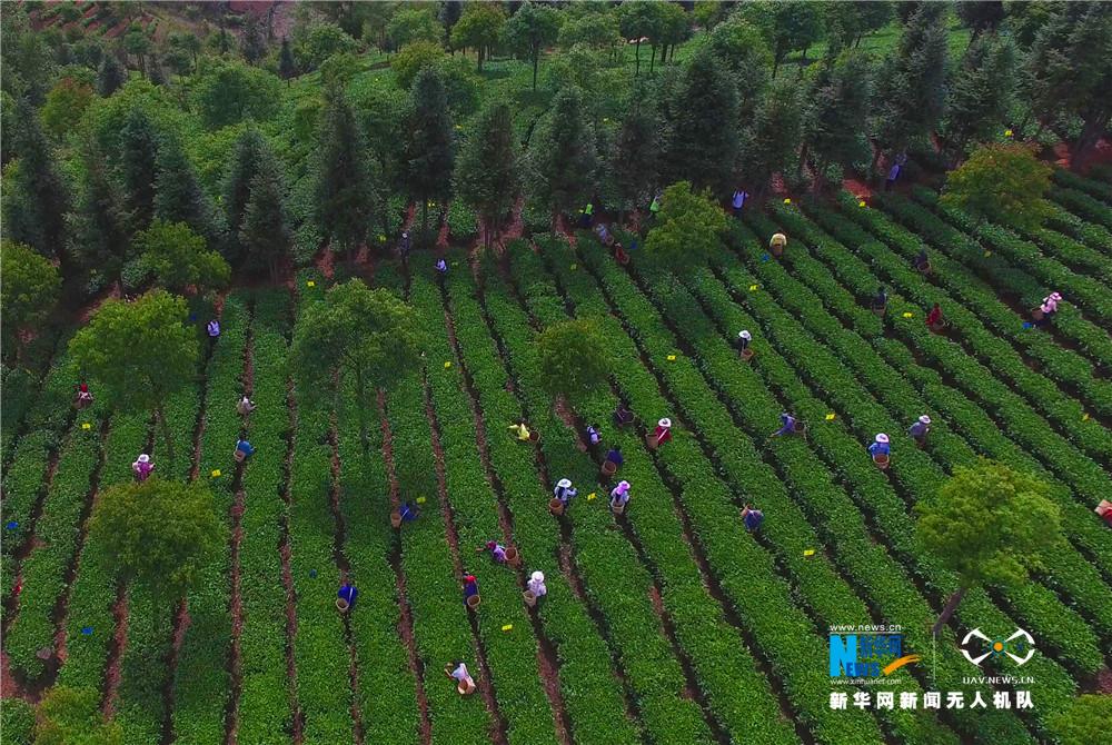 雲南西雙版納:布朗山春茶採摘忙