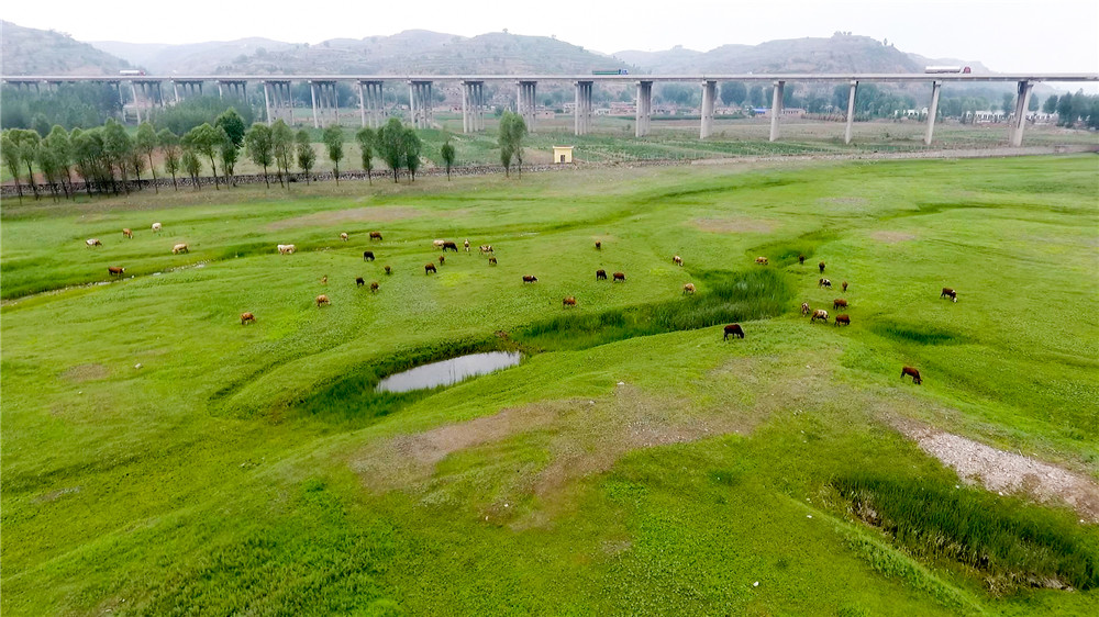 航拍汾河穿山谷:牛群草甸間戲水