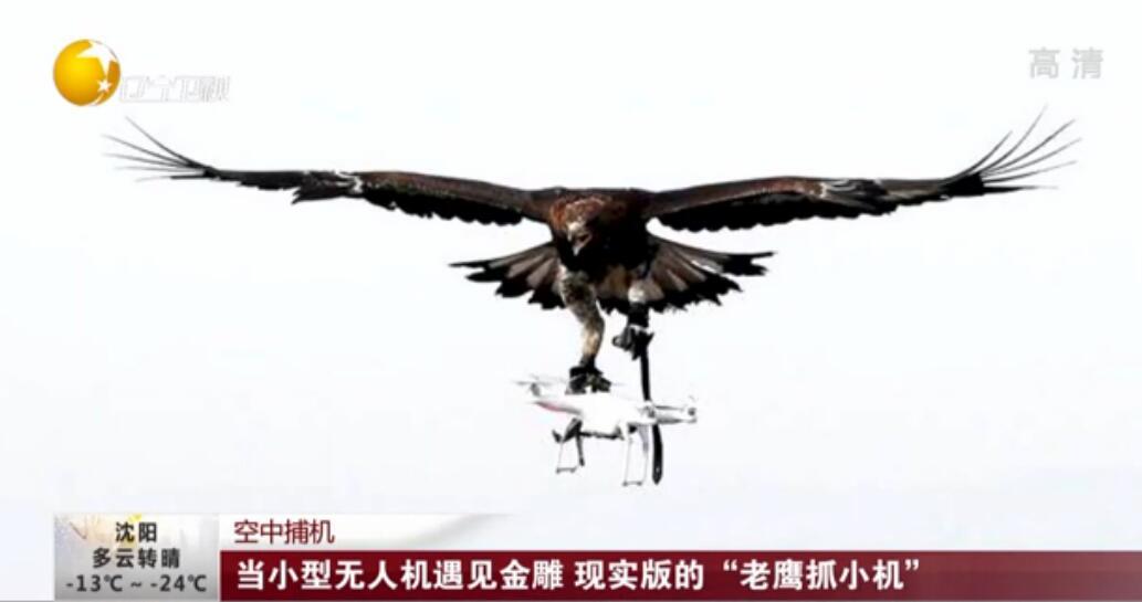 """空中捕機:當小型無人機遇見金雕 現實版的""""老鷹抓小機"""""""