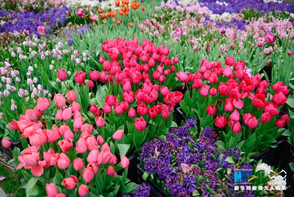 航拍武漢植物園鬱金香 10色係40多個花色